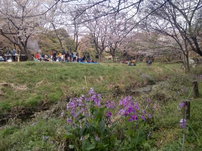 ご近所源流ツアー第4弾、兼 お花見第1弾! 引地川源流の泉の森公園は三分咲き