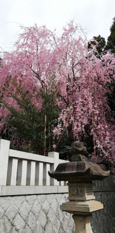 日立市で神社と桜