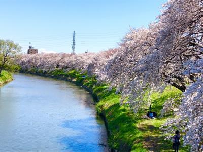 2019 桜満開