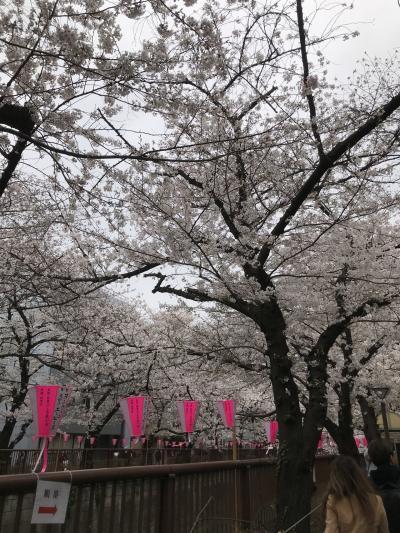 目黒川のソメイヨシノ満開です①ー花見
