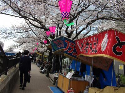 柏尾川の染井吉野-2019年春