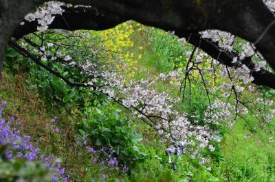 桜満開だと思ったらまだ八分咲き程度 でも早朝から賑わっていました