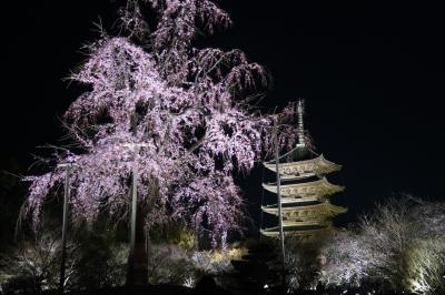 3/29 東寺夜桜(少し早め)