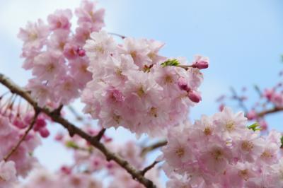 まんぷく展からの大阪城公園の桜 桜は7分咲きくらいかなー 2019.3.31