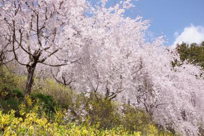 2019年3月、ゆうかの里へ枝垂れ桜を見に。