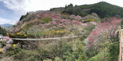 四国輪行旅5-3(自転車で仁淀川、沈下橋、久喜の花桃、ひょうたん桜、佐川町の居酒屋)