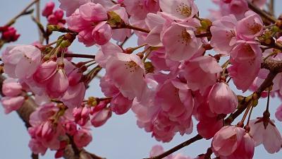 伊丹市 東野地区と大野地区と瑞ヶ池公園の桜の開花状況を確認に行きました その2。