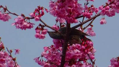 伊丹市 東野地区と大野地区と瑞ヶ池公園の桜の開花状況を確認に行きました その3。