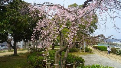 伊丹市 東野地区と大野地区と瑞ヶ池公園の桜の開花状況を確認に行きました その4完。