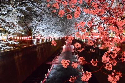 目黒川SAKURA散歩 八分咲きの桜 のんびり早朝の散策とざわざわ混雑の夜桜はサラッと
