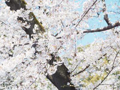 上野公園で平成最後?の桜鑑賞