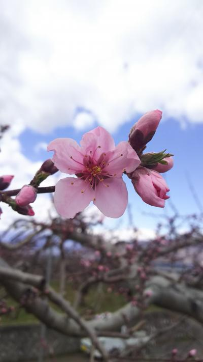 桃の花も咲き始めた山梨へ
