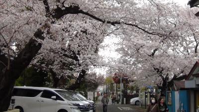 染井村の吉野桜と染井霊園
