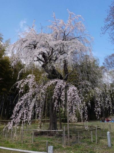 埼玉・桶川の桜2019~城山公園の桜と普門寺のしだれ桜~