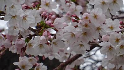 伊丹市 荻野・大野・東野地区の桜を探して その1。