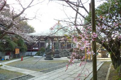 鎌倉長勝寺の枝垂れ桜は開花し出している木もある-2019年