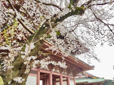 2019  池上本門寺の桜とグルメ