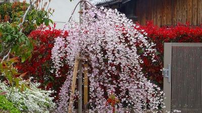 伊丹市 荻野・大野・東野地区の桜を探して その2。