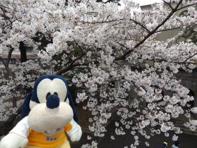 グーちゃん、平成最後の花見へ行く!(東工大で熟女とデート!?編)
