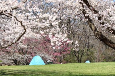 こどもの国、桜が見頃に・・・