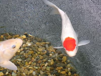 赤ヘル鯉に広島カープ4連覇&日本一を祈願!?@マリホ水族館