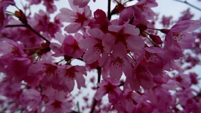 伊丹市 荻野・大野・東野地区の桜を探して その3。