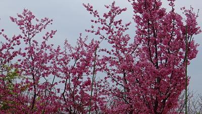 伊丹市 荻野・大野・東野地区の桜を探して その4。