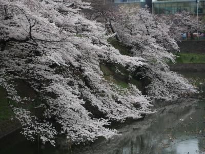 目黒川、千鳥ヶ淵、砧公園、夜桜ならぬ朝桜を見に行く。2019編
