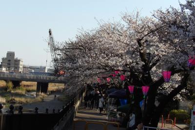 柏尾川の桜並木(染井吉野)が満開目前-2019年春