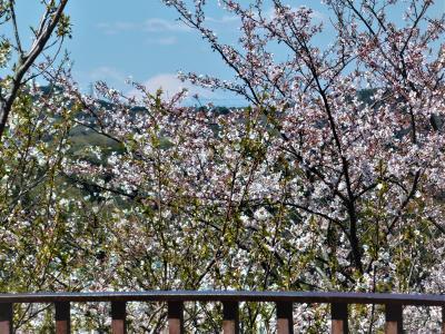`さくら祭`の衣笠山公園/衣笠山展望台