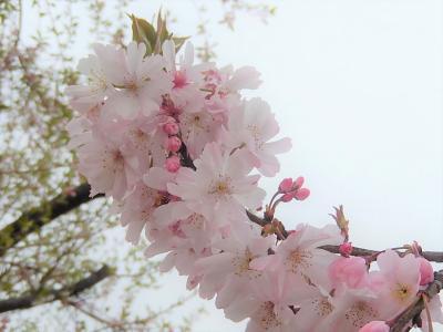 二度開花した冬桜は満開で見ごろでした
