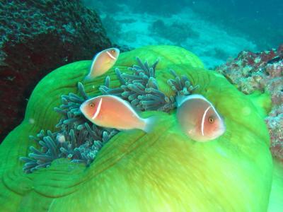 2月のセブでダイビング-2  たくさんの魚に会いました。