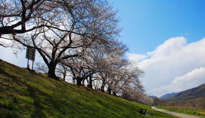 2019年背割堤桜並木開花情報5