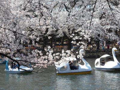 満開の桜 IN 井之頭公園 パート1