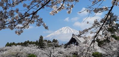 桜と富士山のコラボが最高①富士宮大石寺にて