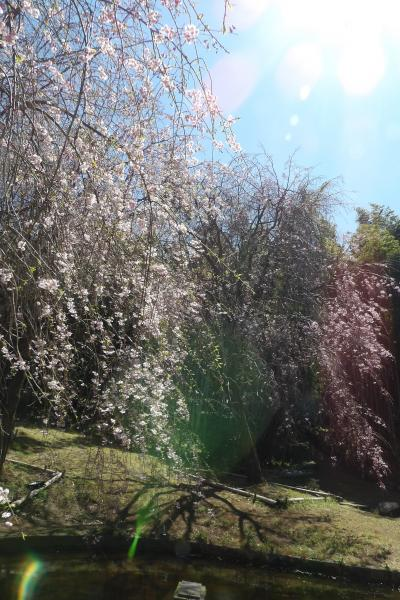 ほぼ咲き揃った荒井城址公園の枝垂れ桜