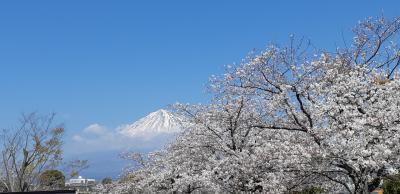 桜と富士山のコラボが最高②富士山本宮浅間大社と富士山世界遺産センター