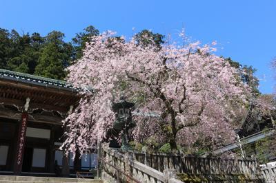 大雄山 最乗寺、桜が見頃でした