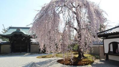 京都で桜めぐり。醍醐寺から清水寺、高台寺に円山公園でたっぷり春を楽しみました。