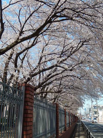 満開になった文京学院大学の桜