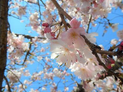 美しかった満開の冬桜
