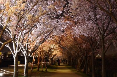 平成最後の夜桜鑑賞@大阪狭山市 狭山池公園はほぼ満開です。2019