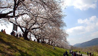 2019年背割堤桜並木開花情報6