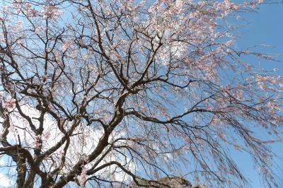 実方家の枝垂れ桜は3分咲き-2019年