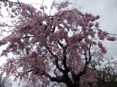 谷中霊園・西洋美術館・上野公園のさくら