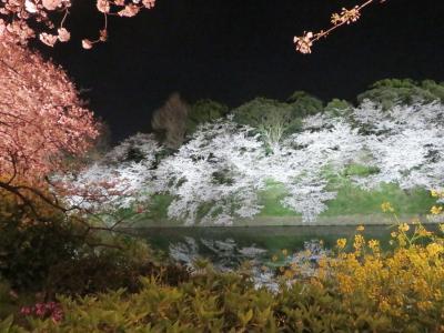 見頃に恵まれた靖国神社奉納・夜桜能と千鳥ヶ淵の暮れなずむ荘厳かつ幽玄な夜の千鳥ヶ淵の桜景色
