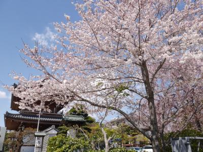 小石川の桜①☆源覚寺・傳通院・小石川植物園☆2019/04/02