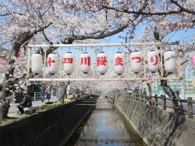 十四川の桜を見て来ました。初めてのお花見場所です。(四日市市)