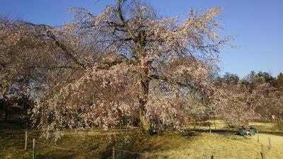 栃木、つがの里、大平山、桜の開花速報2019