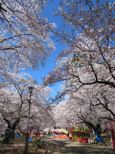 桜満開大宮公園 2019/4/4